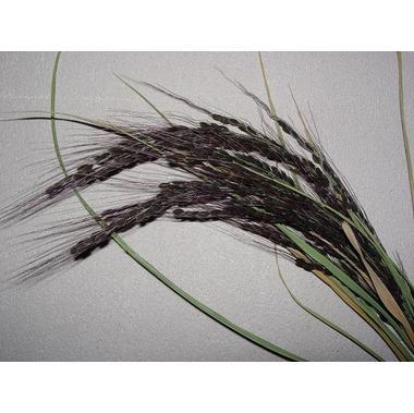 無農薬・無化学肥料栽培の古代米(神丹穂)